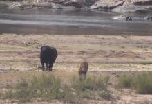 Photo of भैंस के नवजात बच्चे पर शेर ने किया हमला तो मां ने ऐसे सिखाया सबक, वीडियो में देखें जान बचाने के लिए किया क्या