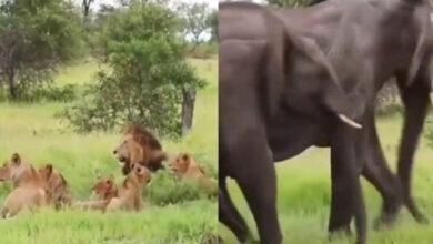 Photo of जब शेरों के पास पहुंच गया हाथी का परिवार, वीडियो में देखें फिर क्या हुआ जंगल के राजा का हाल