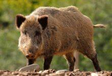 Photo of जंगली सूअर पृथ्वी की सबसे आक्रामक प्रजाति, हर साल 10 लाख कारों के बराबर छोड़ते हैं कार्बन